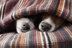 Koppla ihop av hundkapplöpning fotografering för bildbyråer