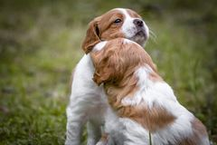 Koppla ihop av lyckligt behandla som ett barn kel för den hundkapplöpningbrittany spanieln och ge sigkyssar, förälskelse och affe arkivfoto