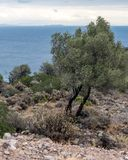 Koppla ihop av olivträd på kusten royaltyfri fotografi
