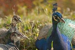 Koppla ihop av påfågel Fotografering för Bildbyråer