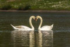 Koppla ihop av stumma Swans arkivfoton