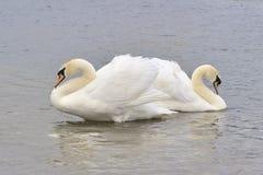 Koppla ihop av stumma Swans Royaltyfria Foton
