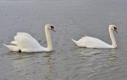 Koppla ihop av swans Fotografering för Bildbyråer