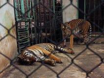 Koppla ihop av tigrar i f?ngenskap inom en bur arkivbilder