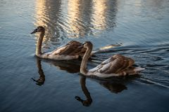 Koppla ihop av unga svanar p? h?stsj?guld royaltyfri bild