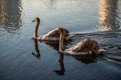 Koppla ihop av unga svanar p? h?stsj?guld arkivfoto