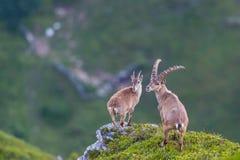 Koppla ihop den vuxna alpina caprastenbockcapricornen som anseendet vaggar på med v Royaltyfri Fotografi