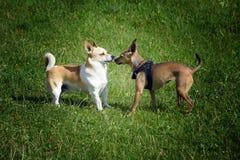 Koppla ihop hundkapplöpning royaltyfria bilder