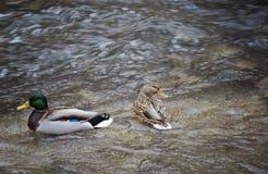 Koppla ihop mannen och den kvinnliga lösa anden - gräsandanasplatyrhynchos som simmar i floden Skjutit från över arkivbilder