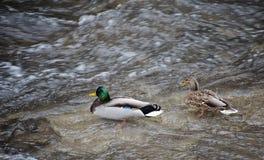 Koppla ihop mannen och den kvinnliga lösa anden - gräsandanasplatyrhynchos som simmar i floden Skjutit från över fotografering för bildbyråer
