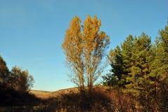 Koppla ihop träd för den gula poppeln på kullarna på kanten av en pinjeskog Arkivfoto