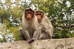 Koppla samman apor arkivbilder