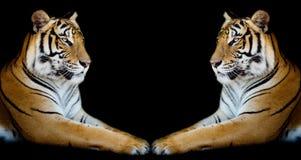 Koppla samman den härliga tigerframsidan - - framsidan som isoleras på svart bakgrund Royaltyfri Fotografi