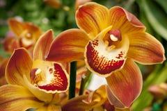 Koppla samman gula orkidér Fotografering för Bildbyråer