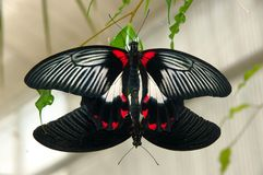 kopulera för fjärilar Royaltyfri Bild