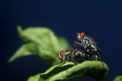 Kopulera flugan Arkivbilder