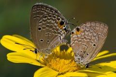 kopulować motyla Fotografia Royalty Free