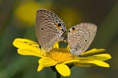 kopulować motyla Zdjęcie Royalty Free