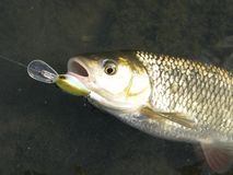 Kopvoornlokmiddel die op rivier vissen royalty-vrije stock afbeelding