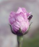 Kopyto_szewski róża lato fotografia stock