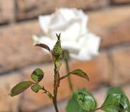 Korówki na róża pączku Zdjęcia Stock