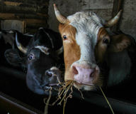 Kor äter hö i stallen Arkivbild