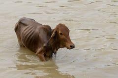 Kor över floden i Lak Dac Lak Vietnam arkivfoton