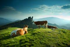 Kor på en grön fiedl royaltyfria bilder