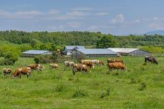 Kor betar i den gröna ängen nära till lantgården Arkivfoton