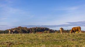 Kor betar jordbruksmark på Autumn Landscape royaltyfri fotografi