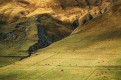 Kor betar på den enorma bergssidan i Ushguli, övreSvaneti, Georgia Royaltyfri Foto