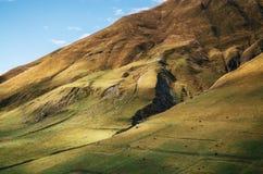 Kor betar på den enorma bergssidan i Ushguli, övreSvaneti, Georgia Arkivfoto