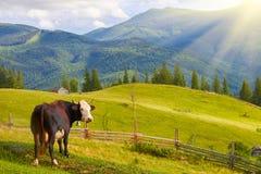 Kor betar på gröna bergfält och ängar arkivfoto