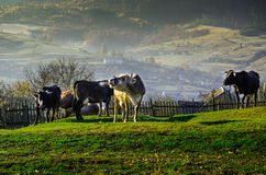 Kor betar på i hösten, de blåa bergen och de gamla staketen in Arkivbild