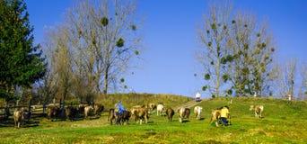 Kor betar på i hösten, de blåa bergen och de gamla staketen in Royaltyfria Bilder
