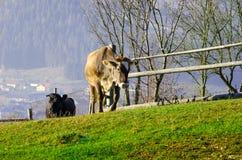 Kor betar på i hösten, de blåa bergen och de gamla staketen in Arkivbilder