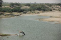 Kor dricker från floden royaltyfria bilder
