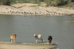 Kor dricker från floden royaltyfri fotografi