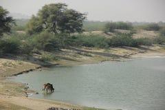 Kor dricker från floden arkivbilder