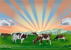 kor field grön solnedgång Royaltyfri Bild