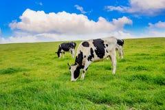 kor field green royaltyfri fotografi