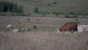 kor field green Beta av nötkreatur arkivfilmer