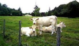 Kor flock av kor fotografering för bildbyråer