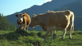 Kor går på ett grönt gräs stora liggandebergberg lager videofilmer