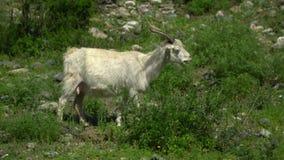 Kor går på ett grönt gräs stora liggandebergberg arkivfilmer