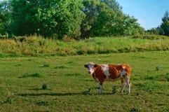 Kor i ängar, röda kor på en gräsplan betar Royaltyfri Foto