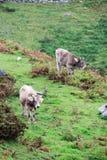 Kor i den Covadonga lagos nationalparken Picos de Europa, Spanien arkivfoton
