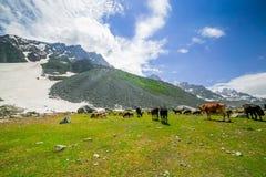 Kor i det härliga Indien landskapet med snö når en höjdpunkt Arkivfoton