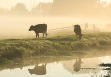 Kor i dimman Arkivfoto