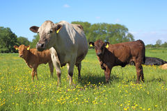 Kor i en äng Arkivbilder